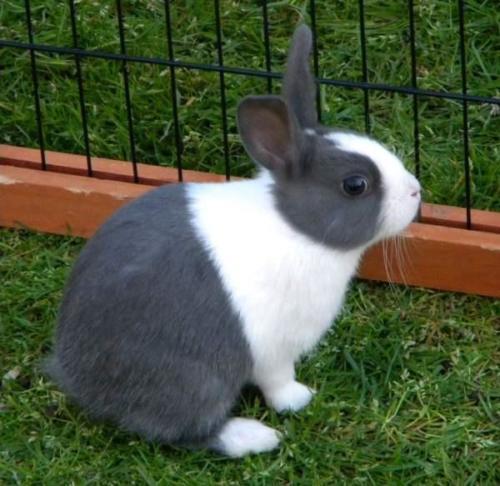 Черно-белый кролик – Датский